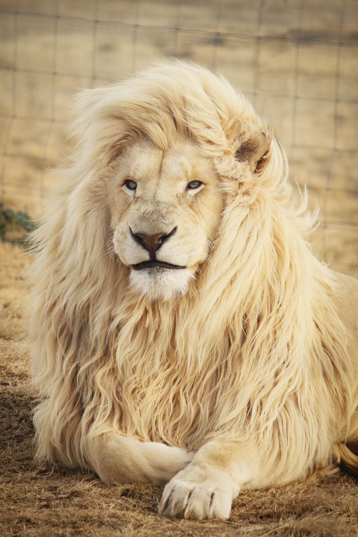 lion lying on ground