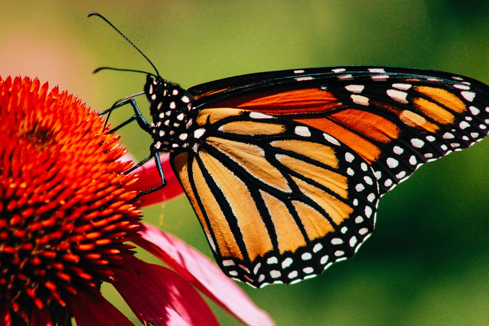 close-up photography of monarch butterfly on flower