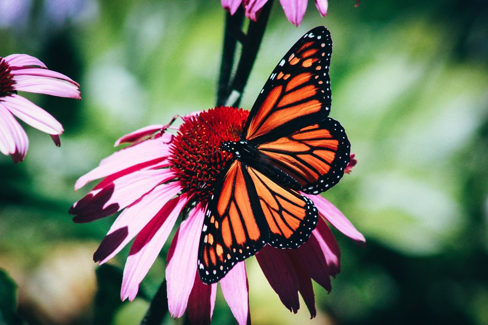 orange and black butterfly