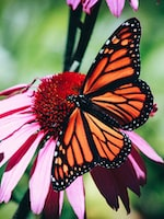 Butterfly Gardening Made Easy