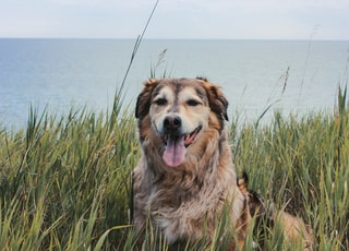 tan and black dog surrounded with grasses photo