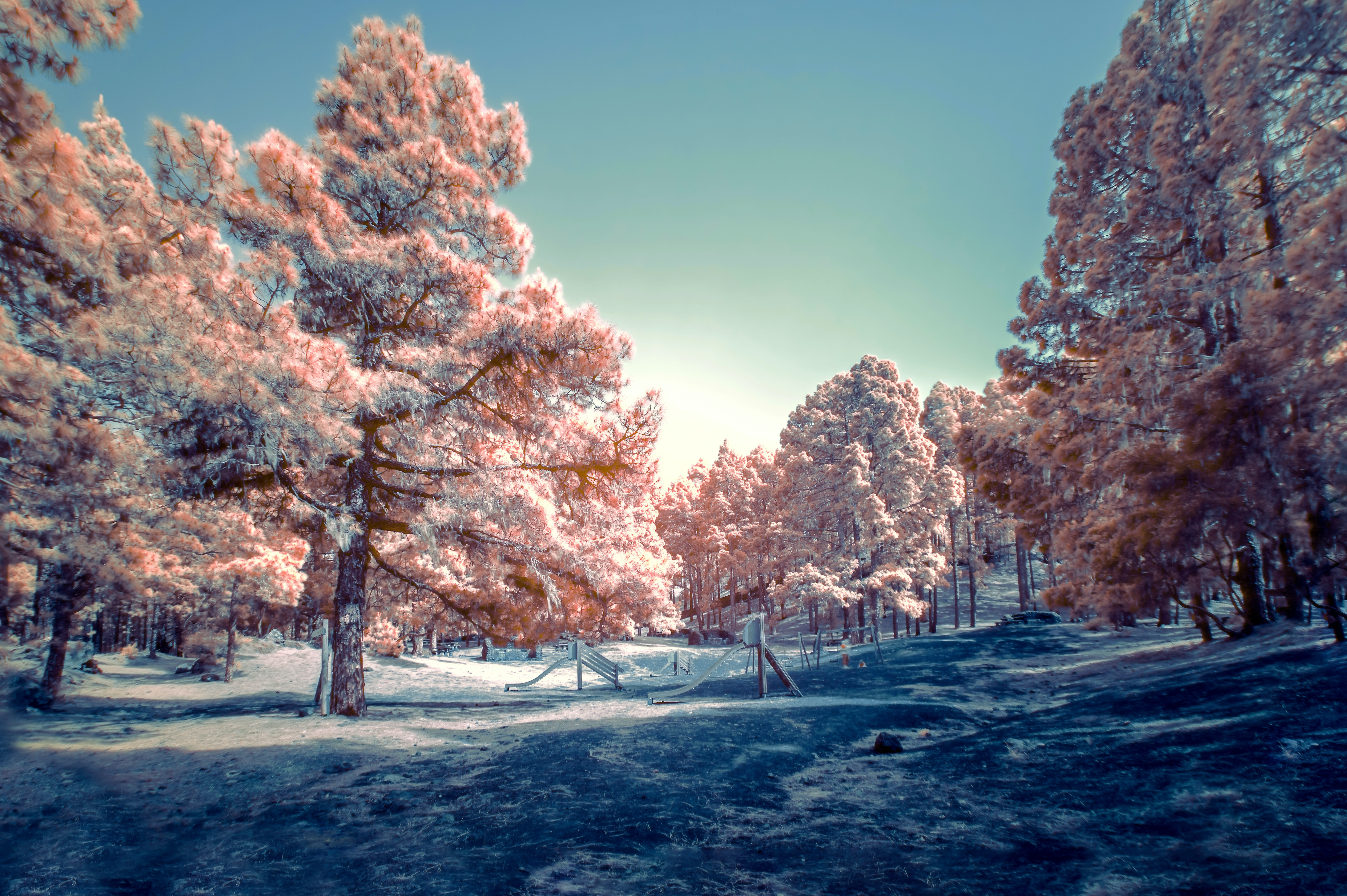 Cherry blossom trees digital wallpaper