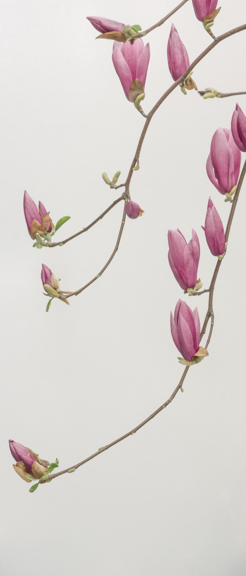 pink petaled flowers wallpaper