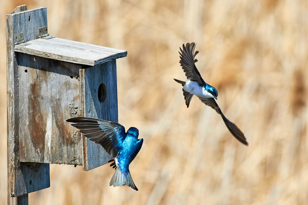 panning photo of two blue birds