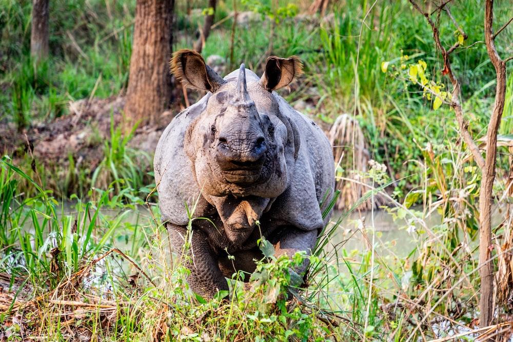 rhinoceros on green grasses during daytime