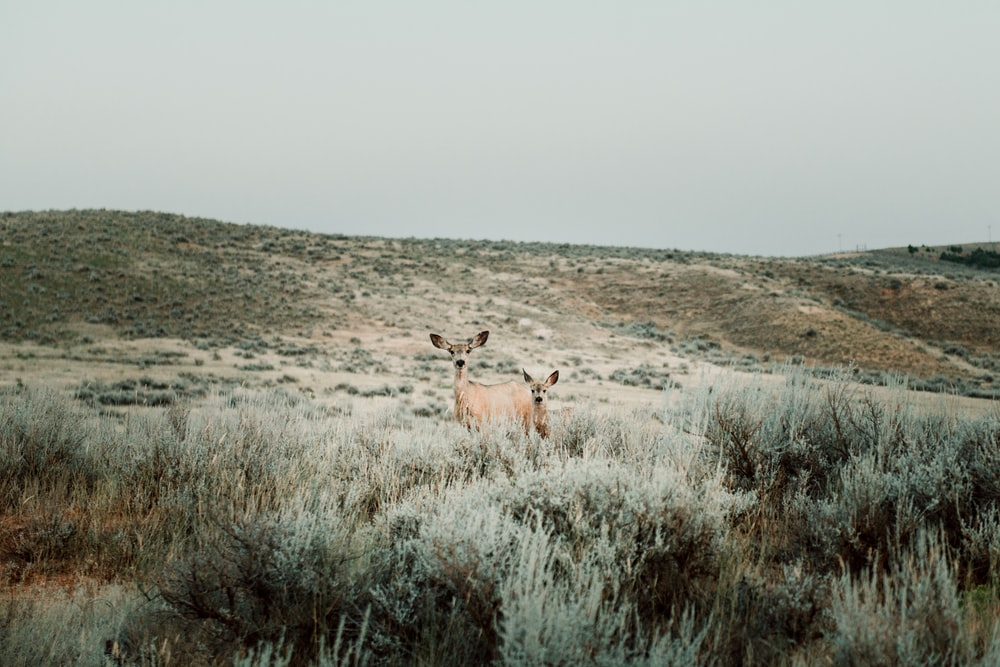 two brown deers in the middle of grasses