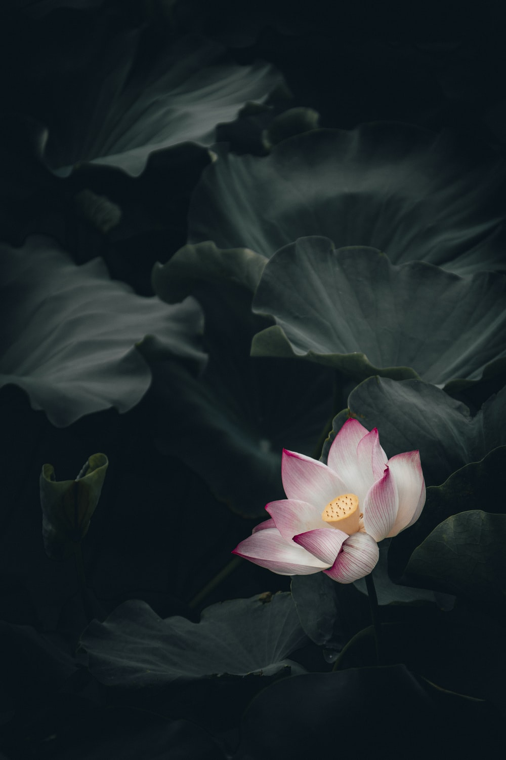 27 lotus pictures download free images on unsplash close up photo of pink and white petaled flower izmirmasajfo