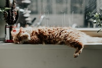 orange tabby cat lying down