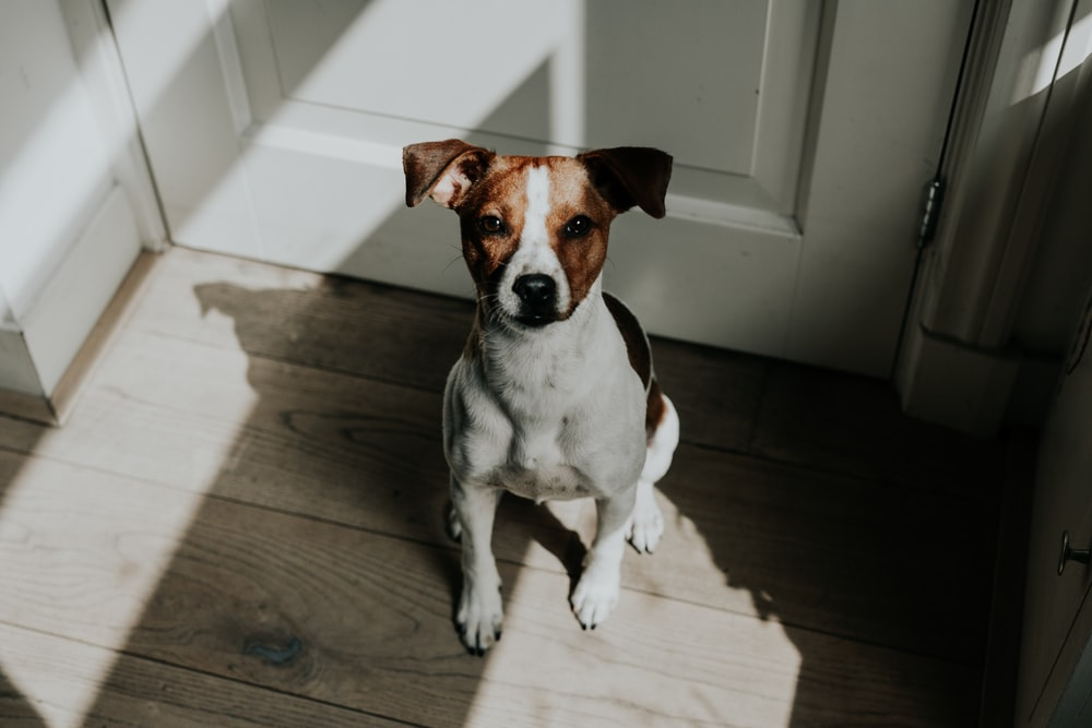 short-coated white and brown dog sitting behind white wooden door