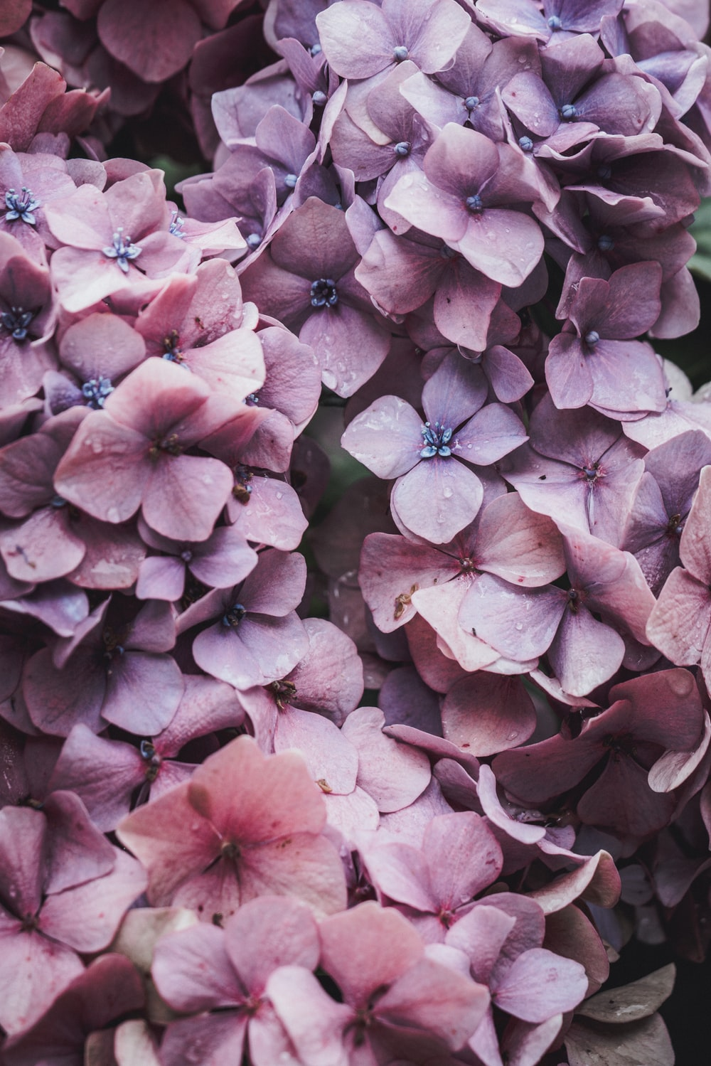 100 lilac pictures hd download free images on unsplash pink flowers mightylinksfo