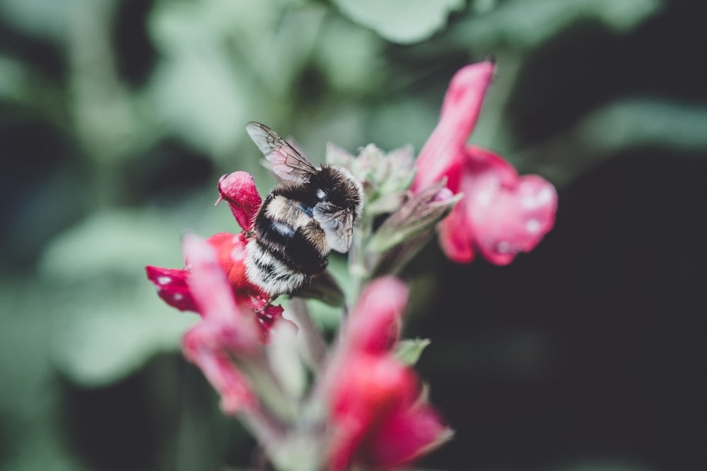 close up photo of bee hovering red petaled flower