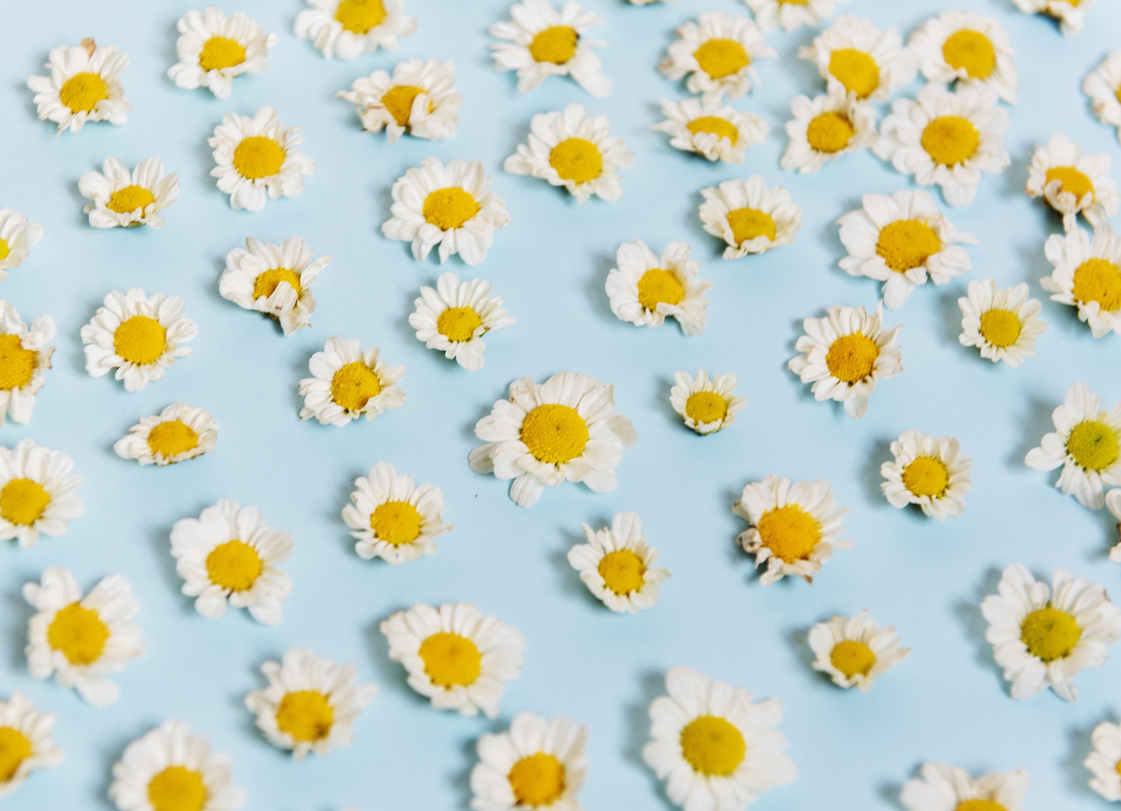 white daisy flower lot
