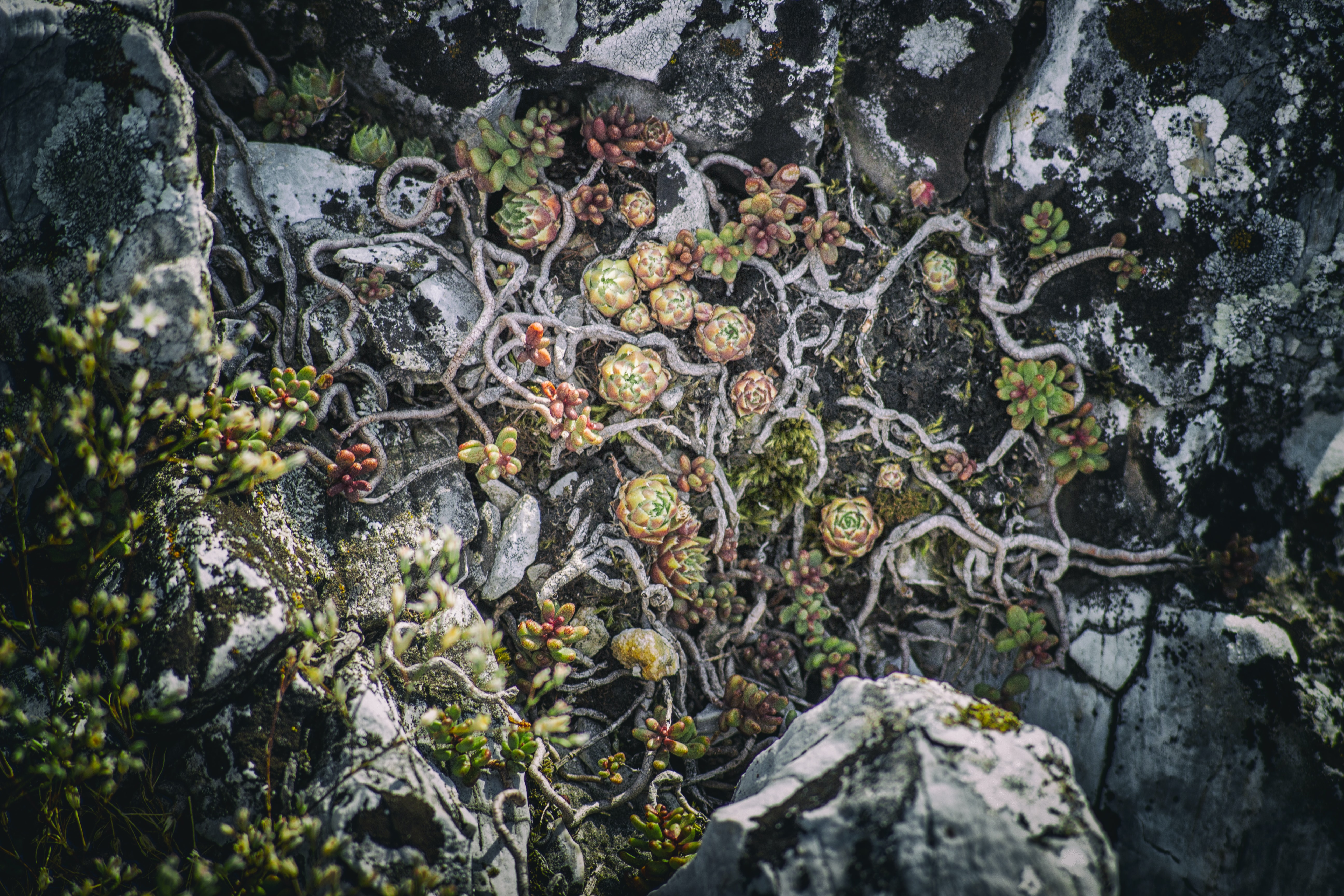 green, red, and white succulent plants surrounded by stones