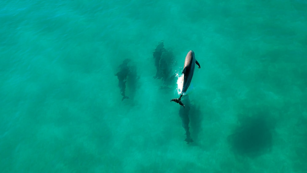 aerial photo of dolphin swimming