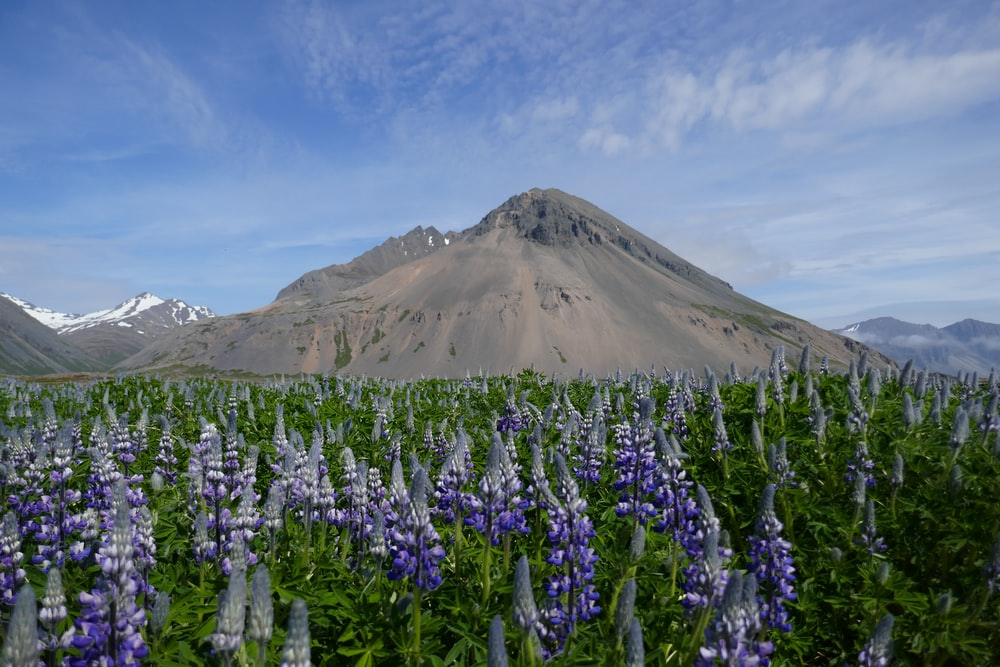 lavender field near mountain during daytime