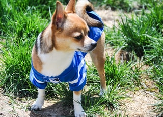 small short-coated dog wearing blue and white MLB vest