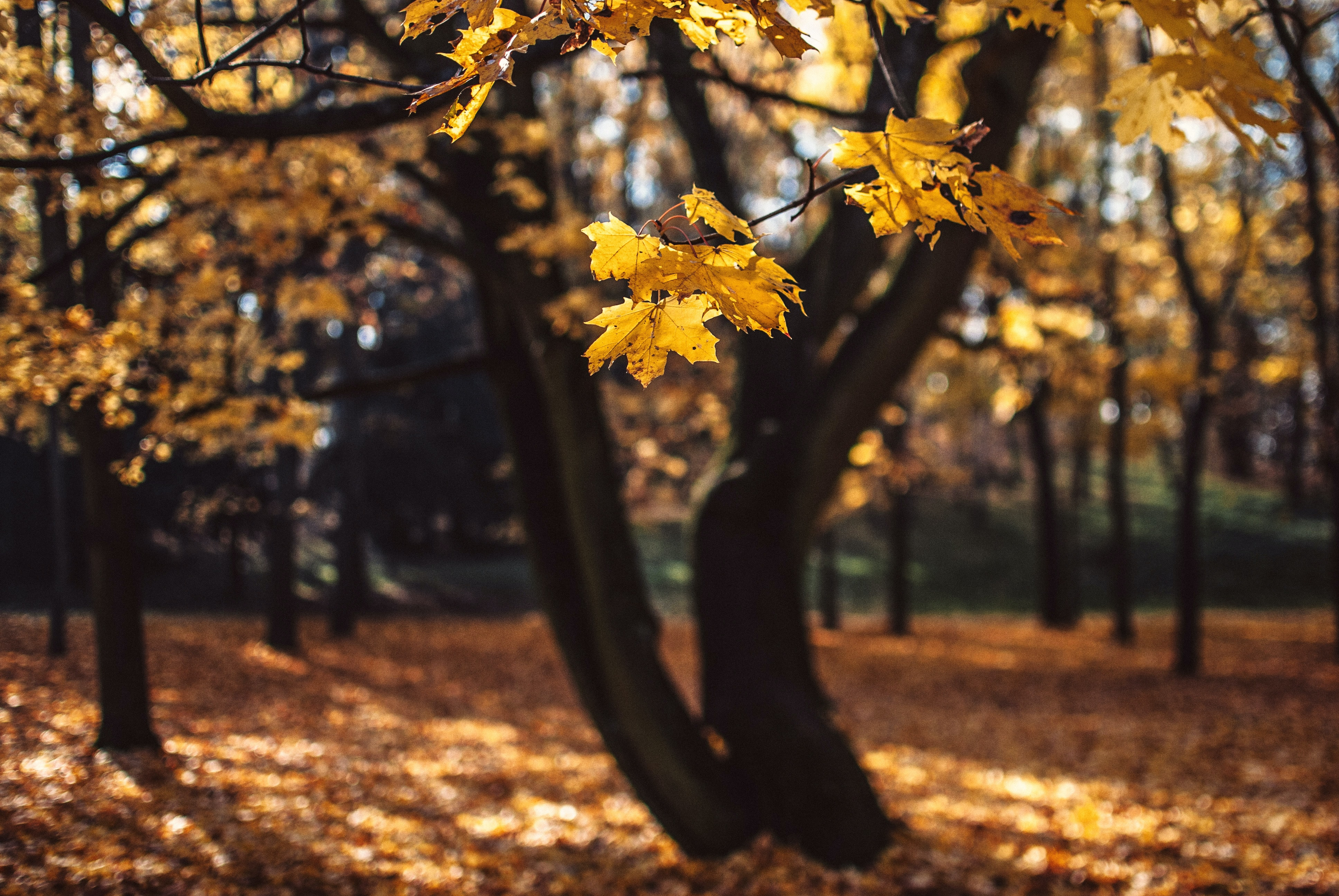 yellow leaf trees