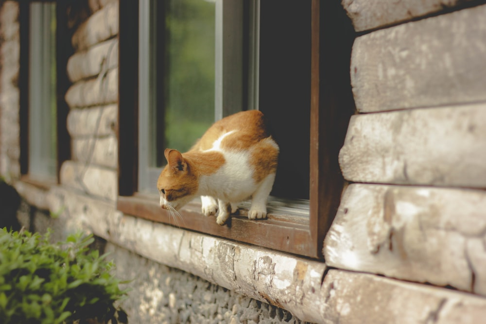 orange tabby cat on window about to jump