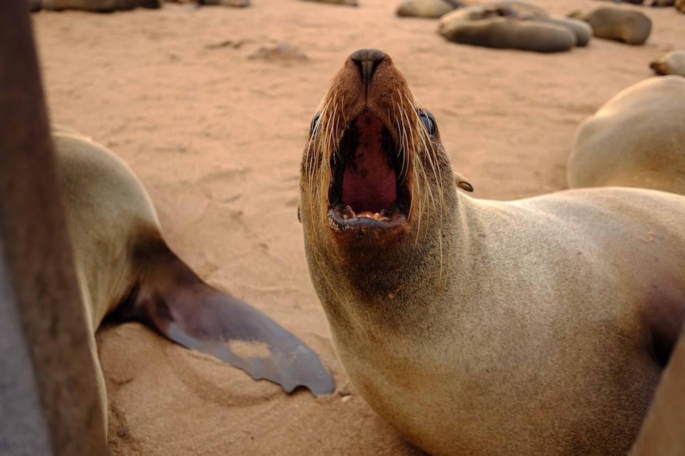 sea lion on brown sand