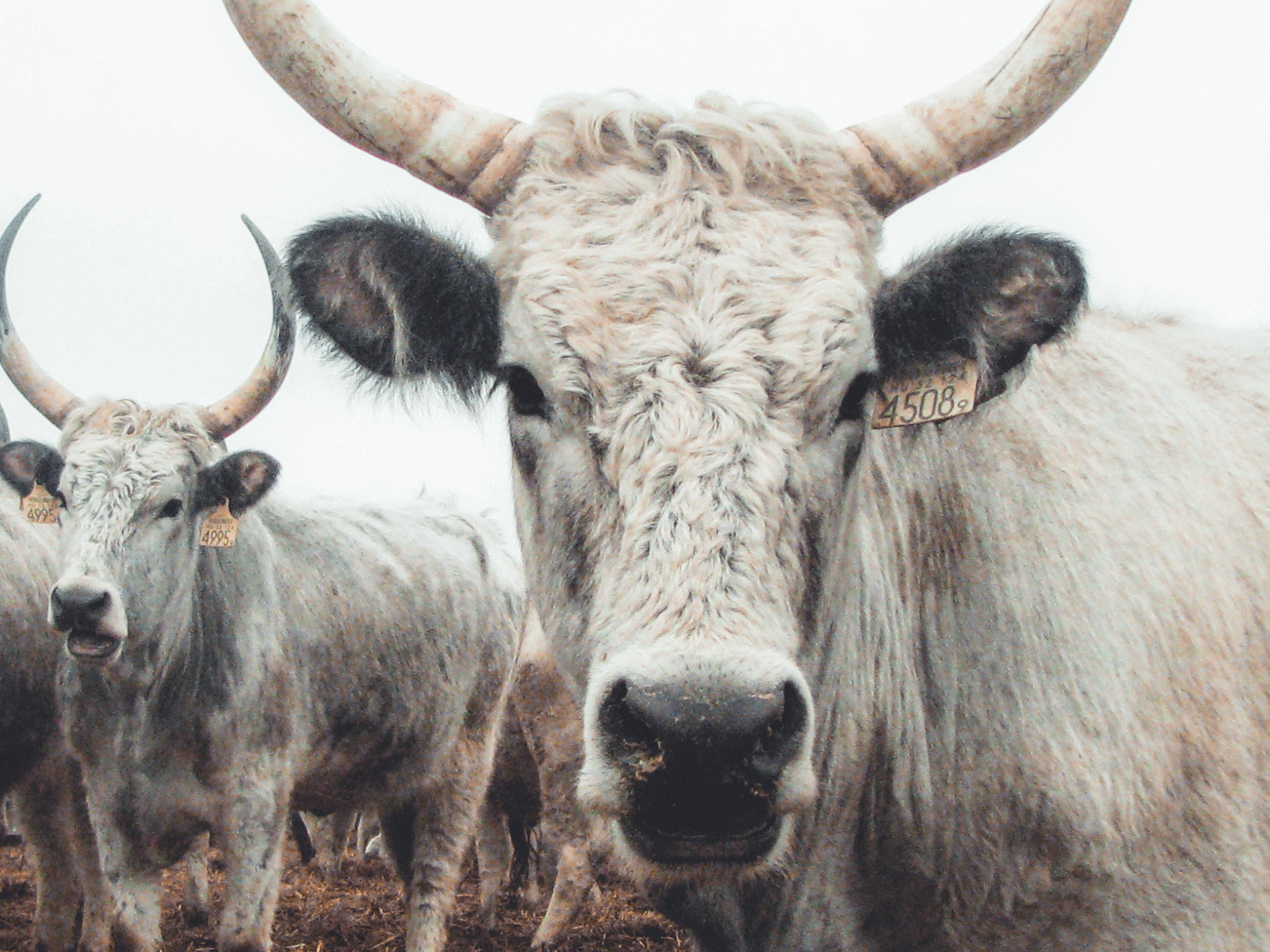 herd of white cattle