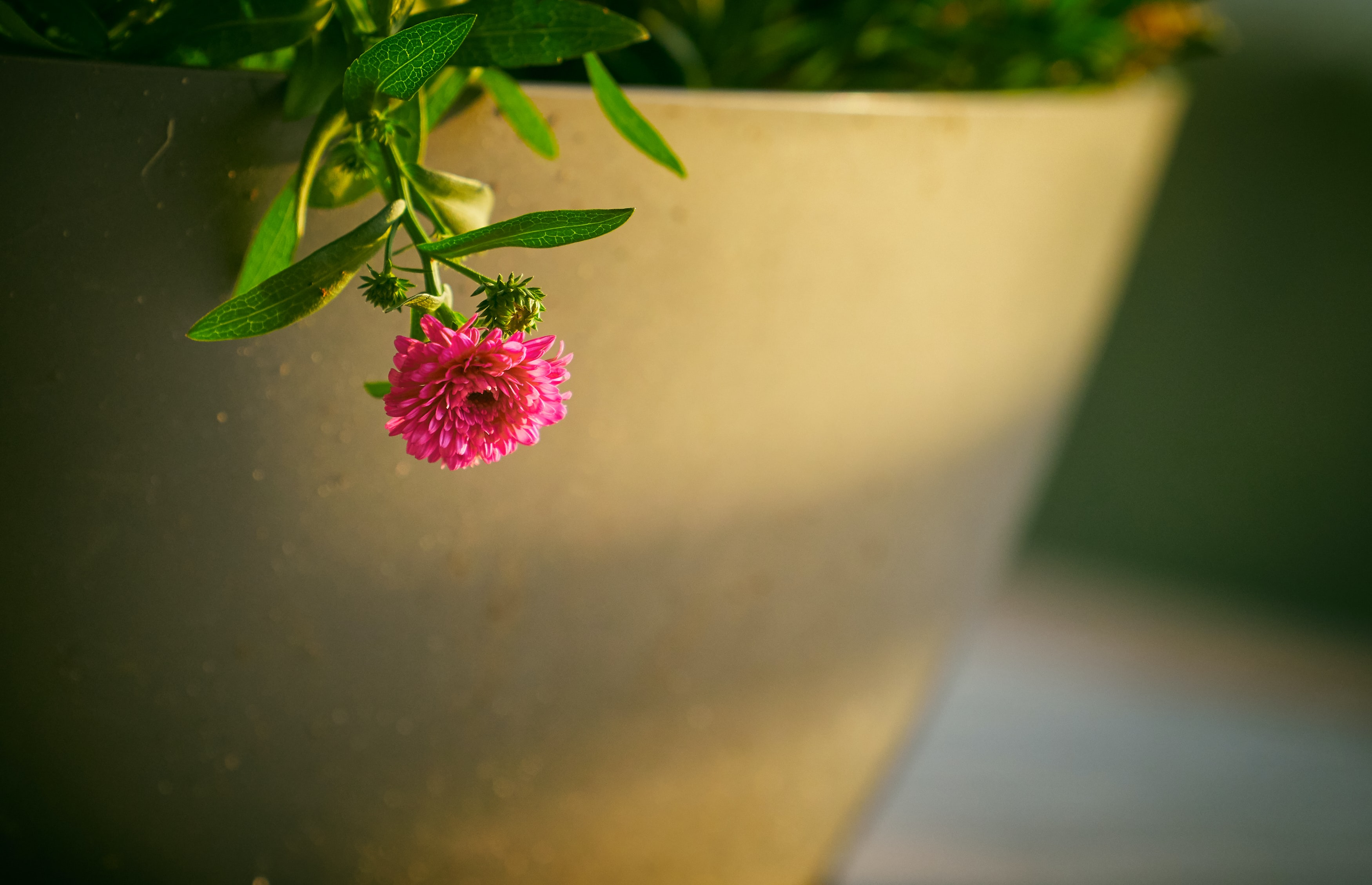 shallow focus photography of pink flower