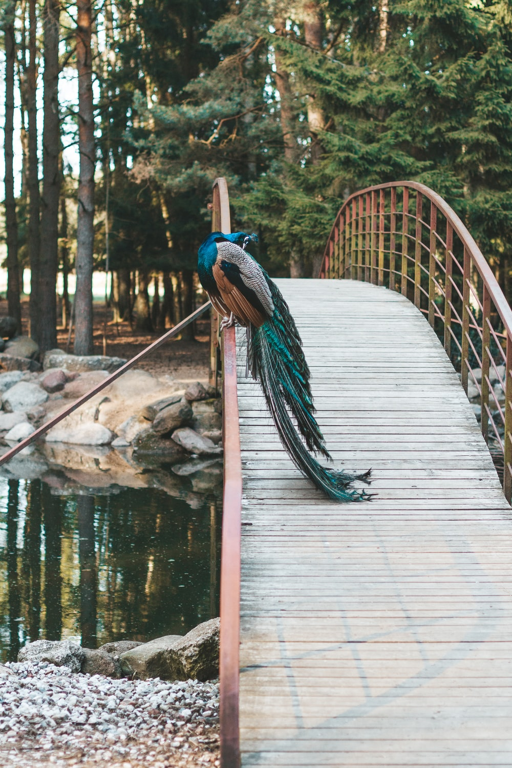 peacock perched on foot bridge