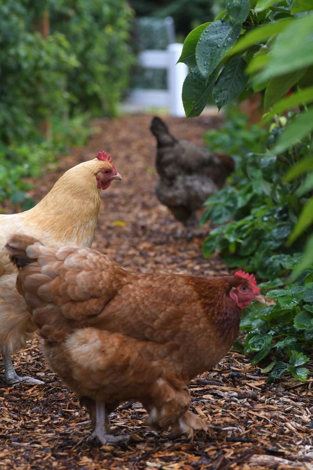 three hens beside plants