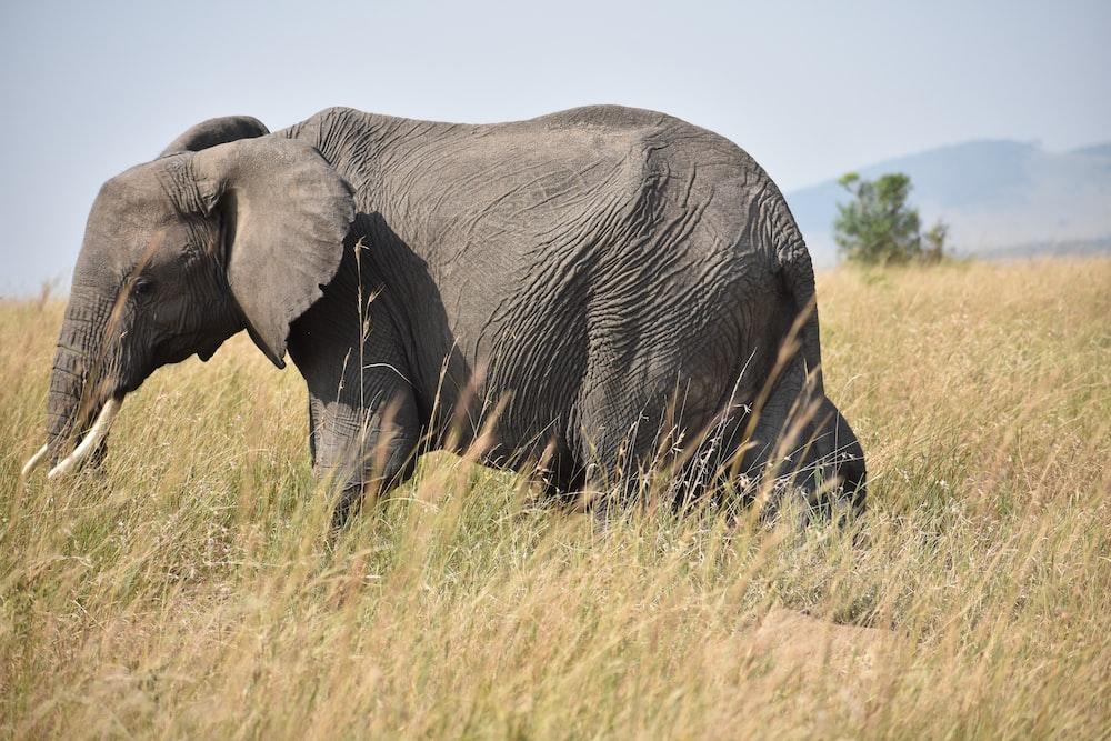 gray elephant under clear sky