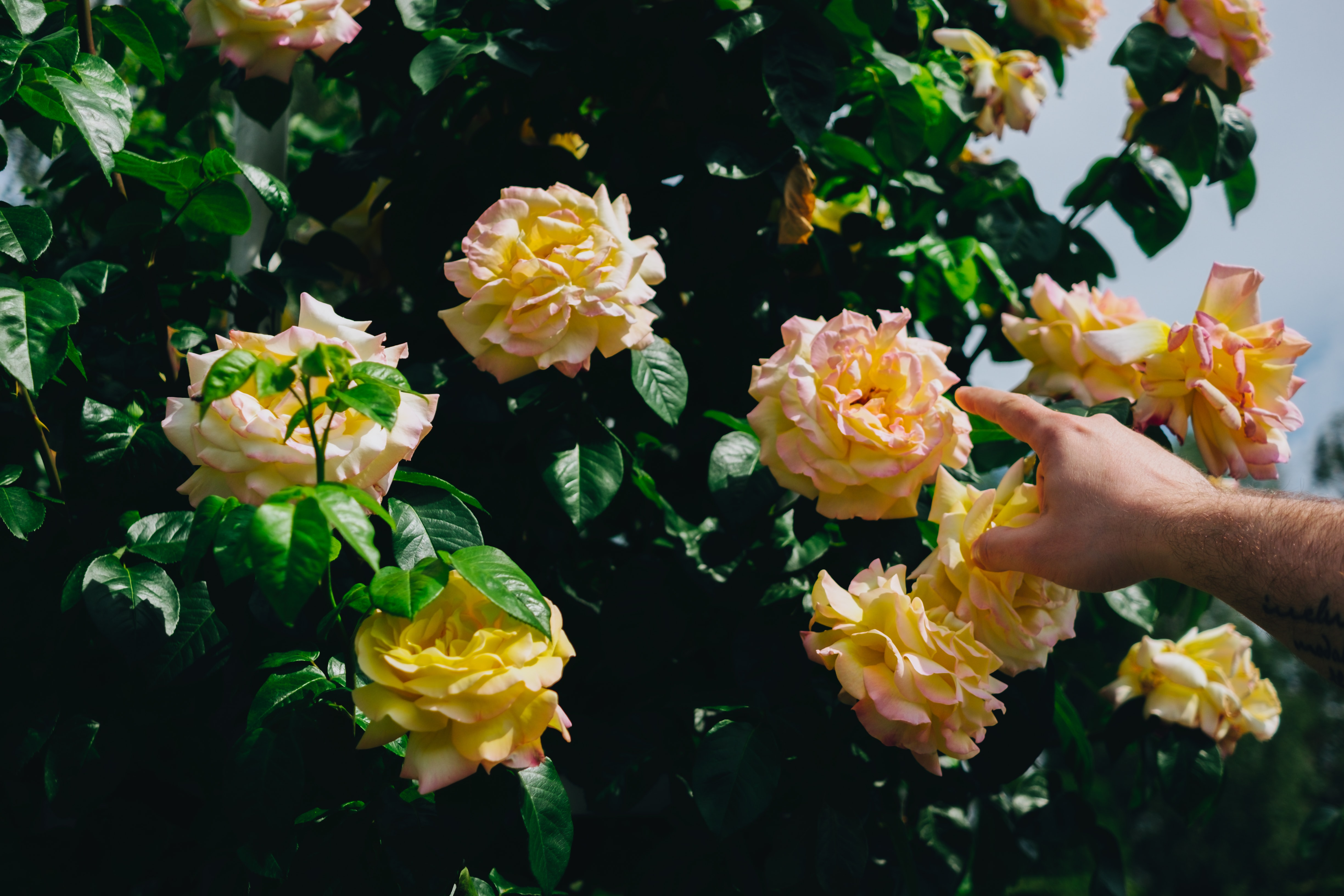 person about to hold yellow-and-red rose flowers