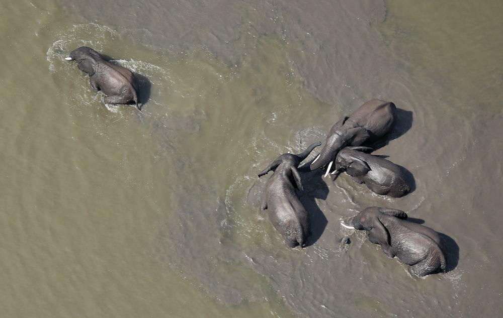 five black elephant in body of water