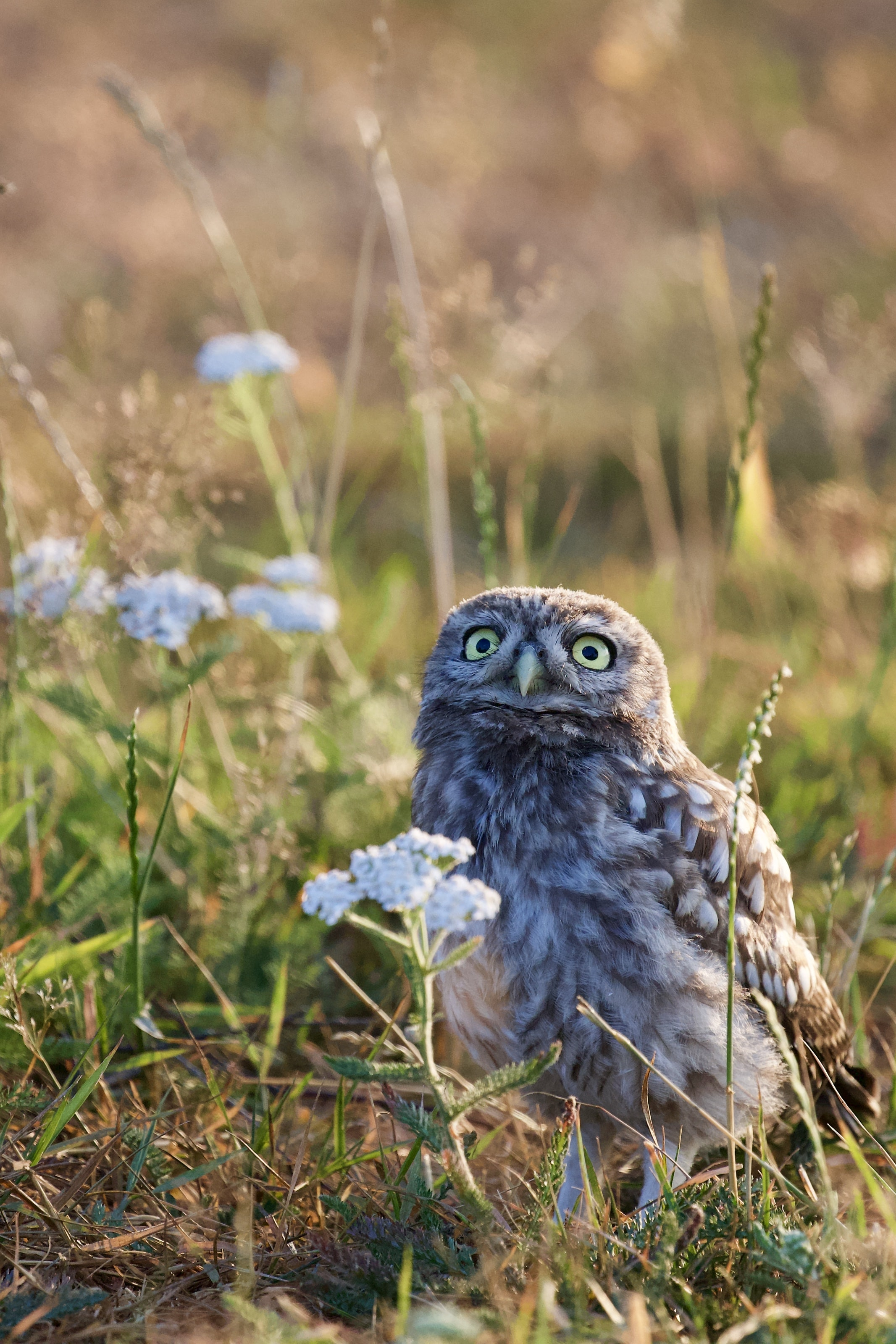 brown owl beside white petaled flower
