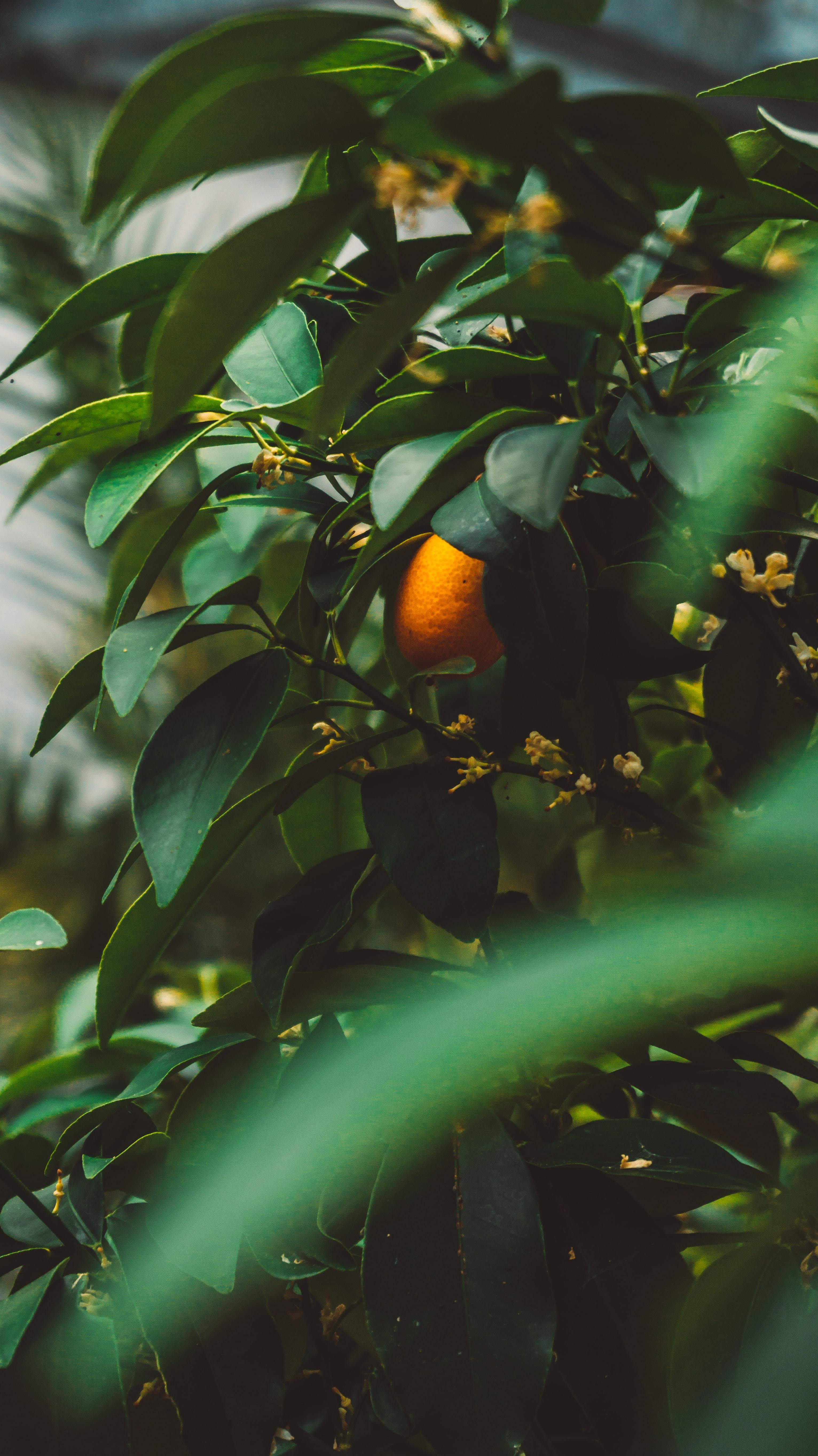 oval orange fruit on tree