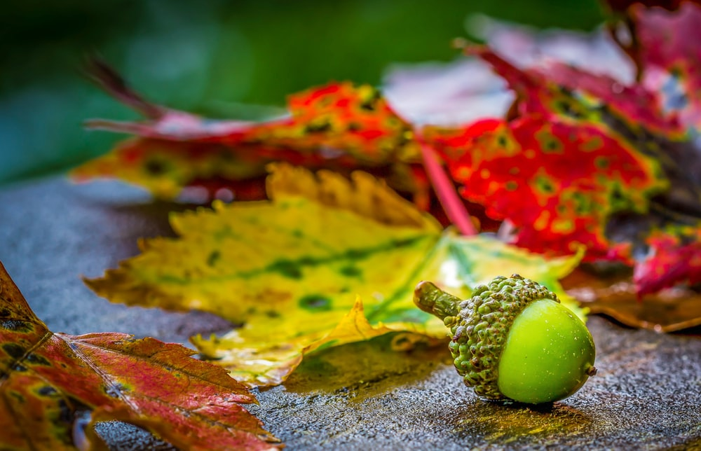 green fruit beside dried leaf