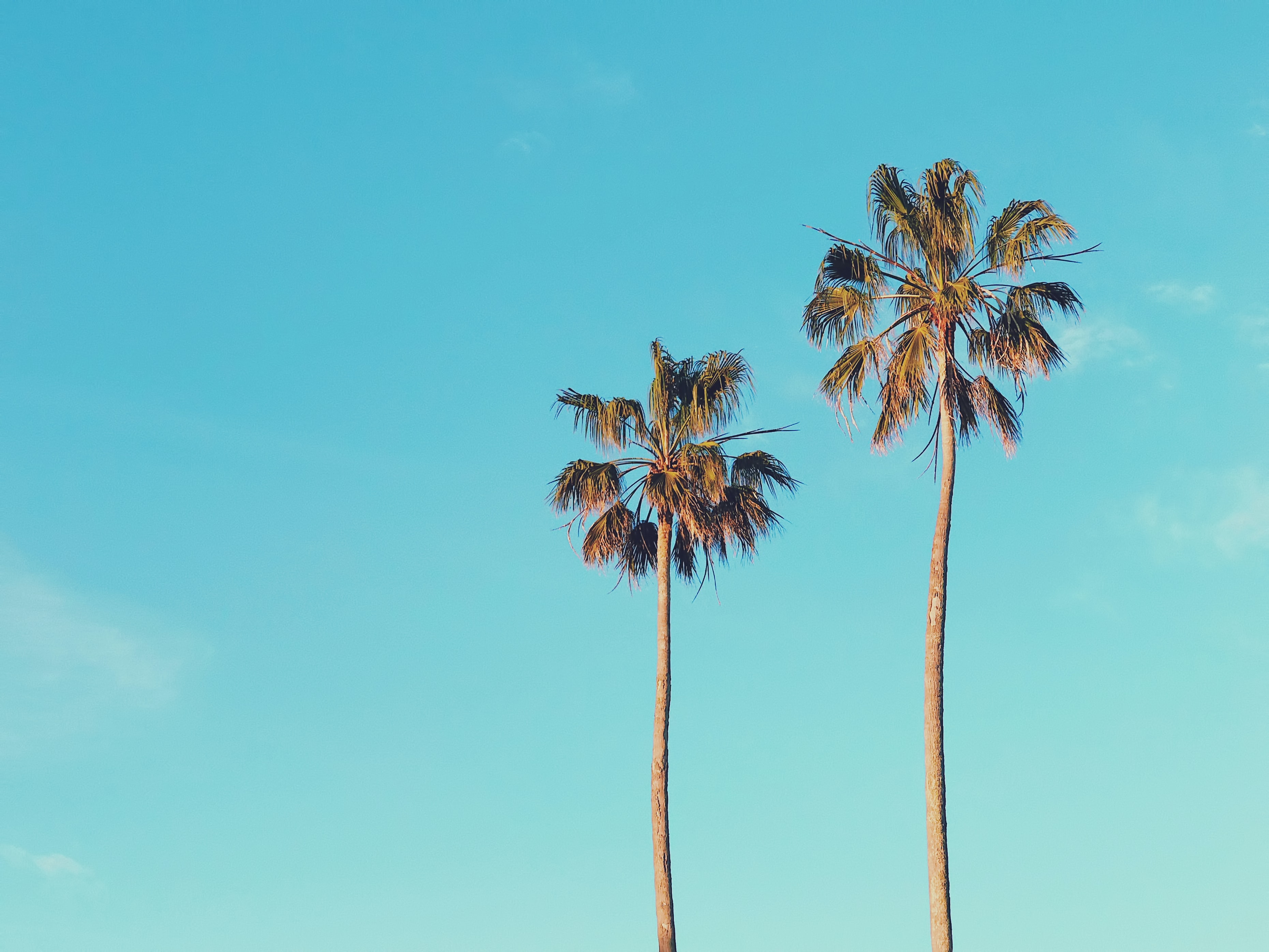 two brown palm trees