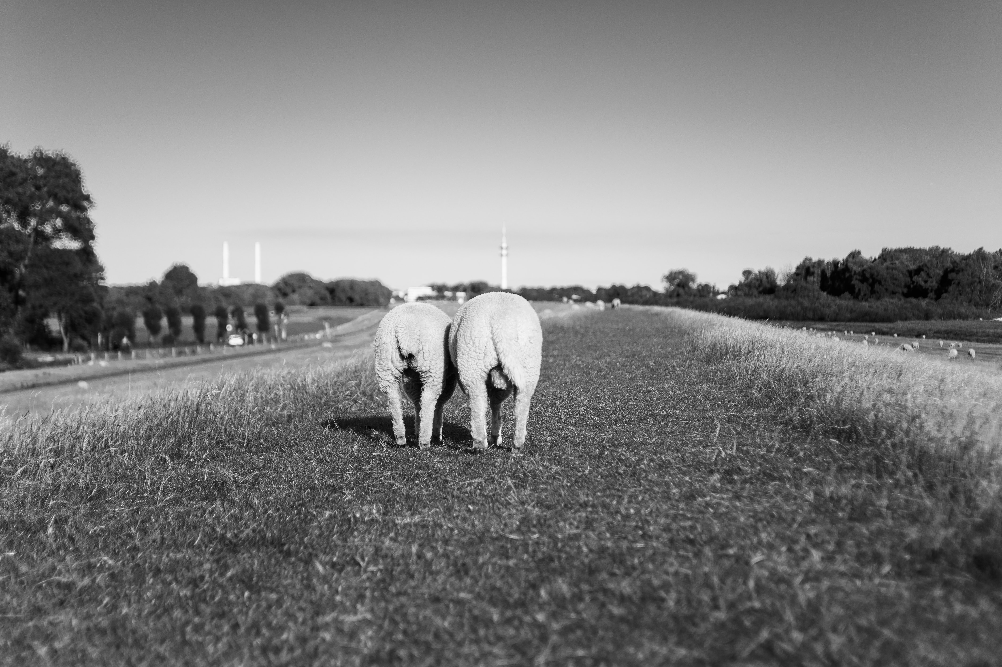 grayscale photo of two animal walking on grass