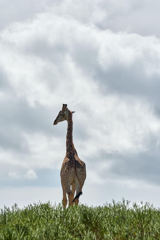 giraffe standing on grass field
