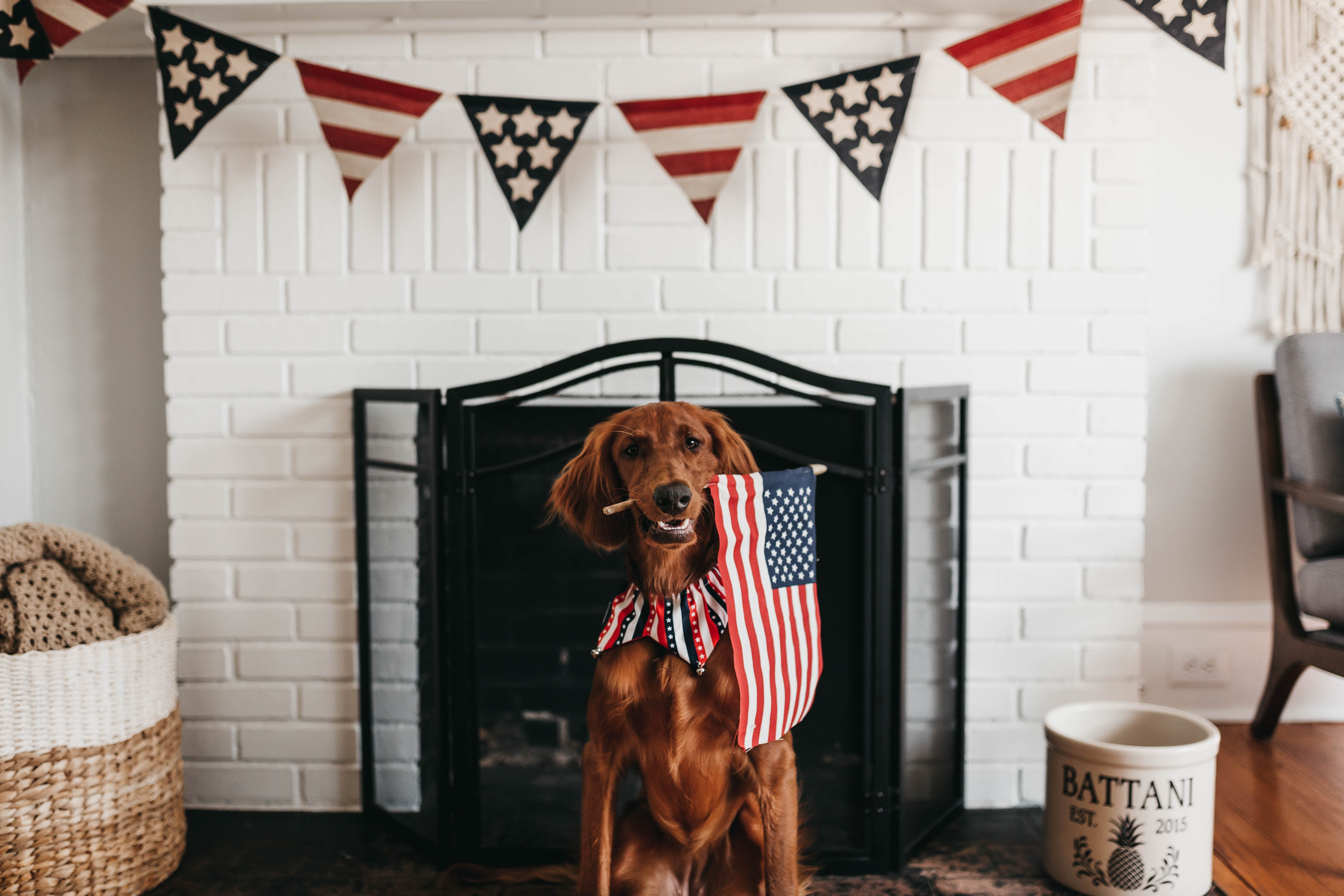 short-coated brown dog biting American flag