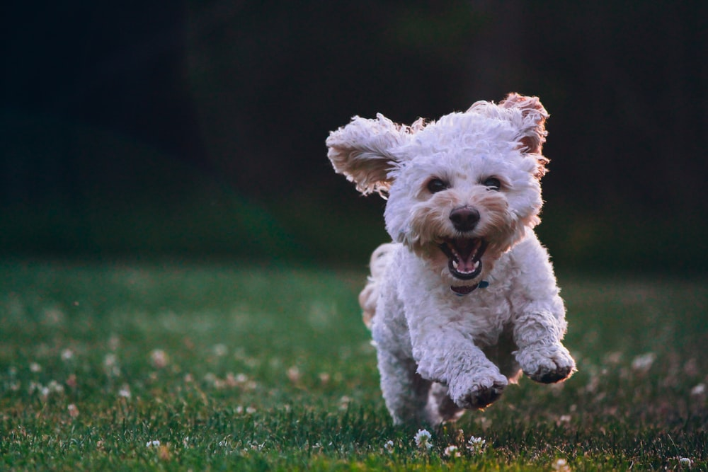 shallow focus photography of white shih tzu puppy running on the grass