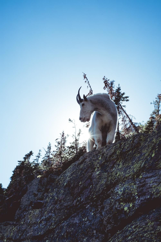 white goat on large roc k