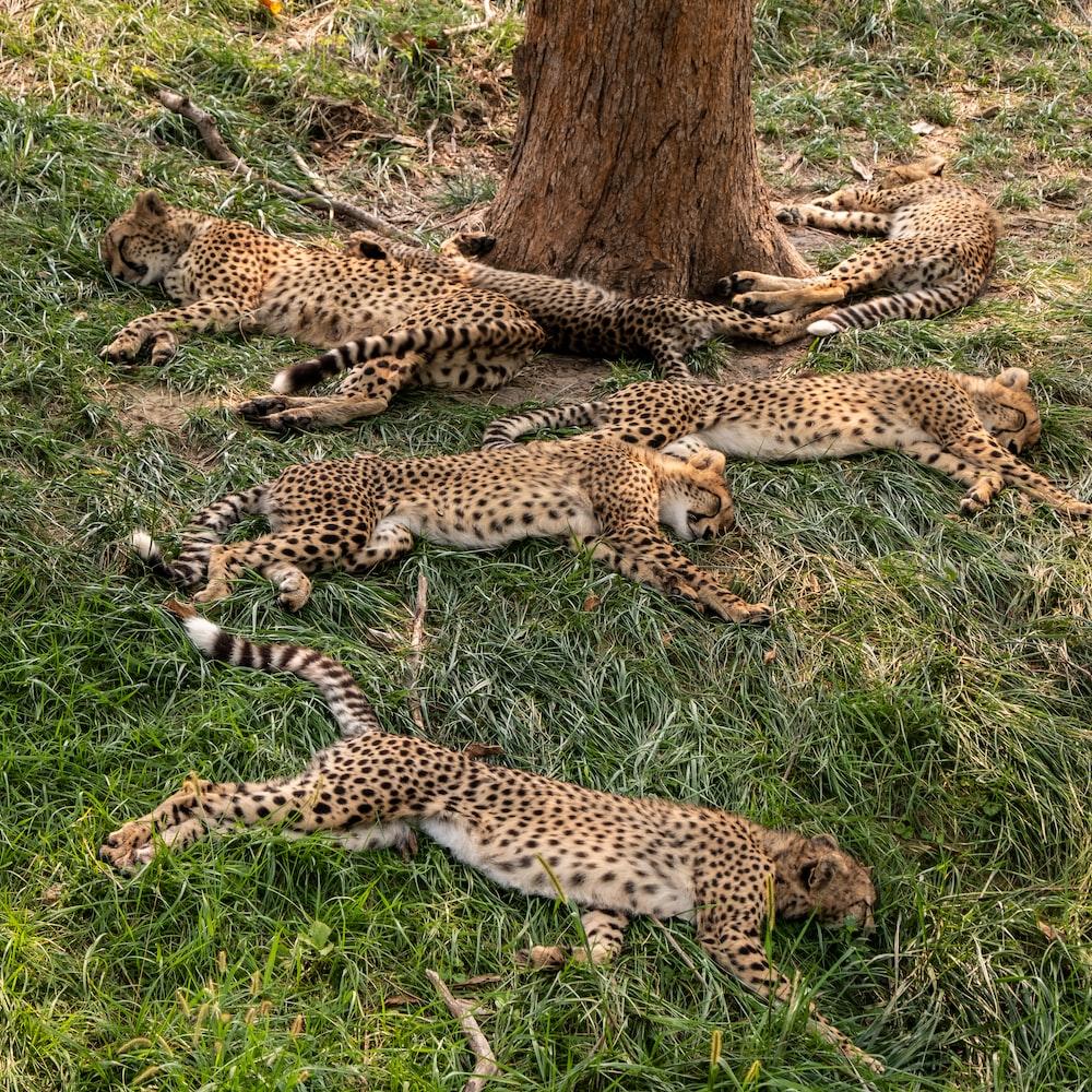six leopard cubs lying beside tree