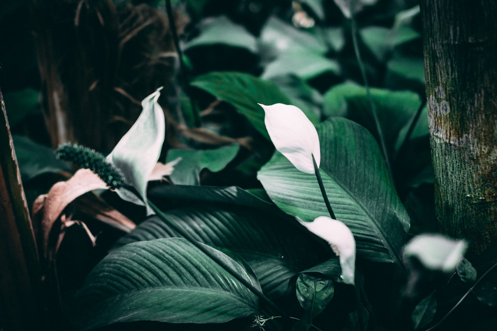 depth of field photography of peace lily plants