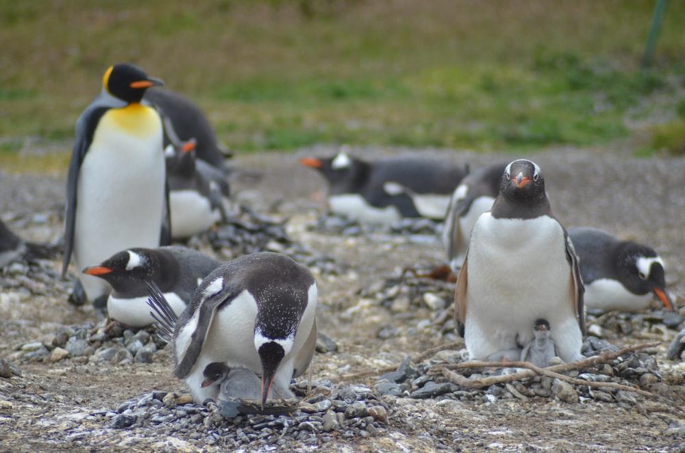 penguins standing on soil ground