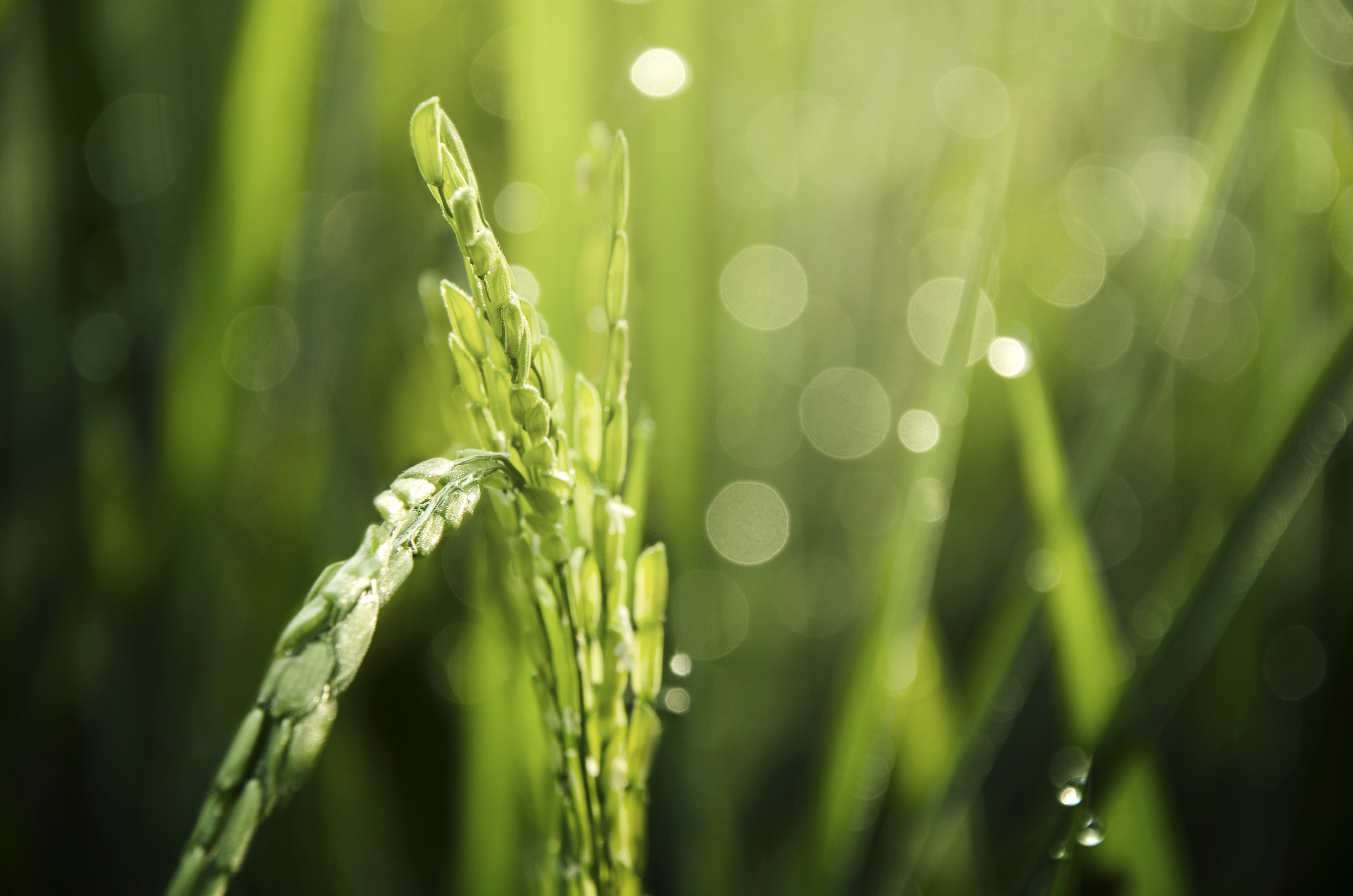 macro photography of rice with bokeh light background