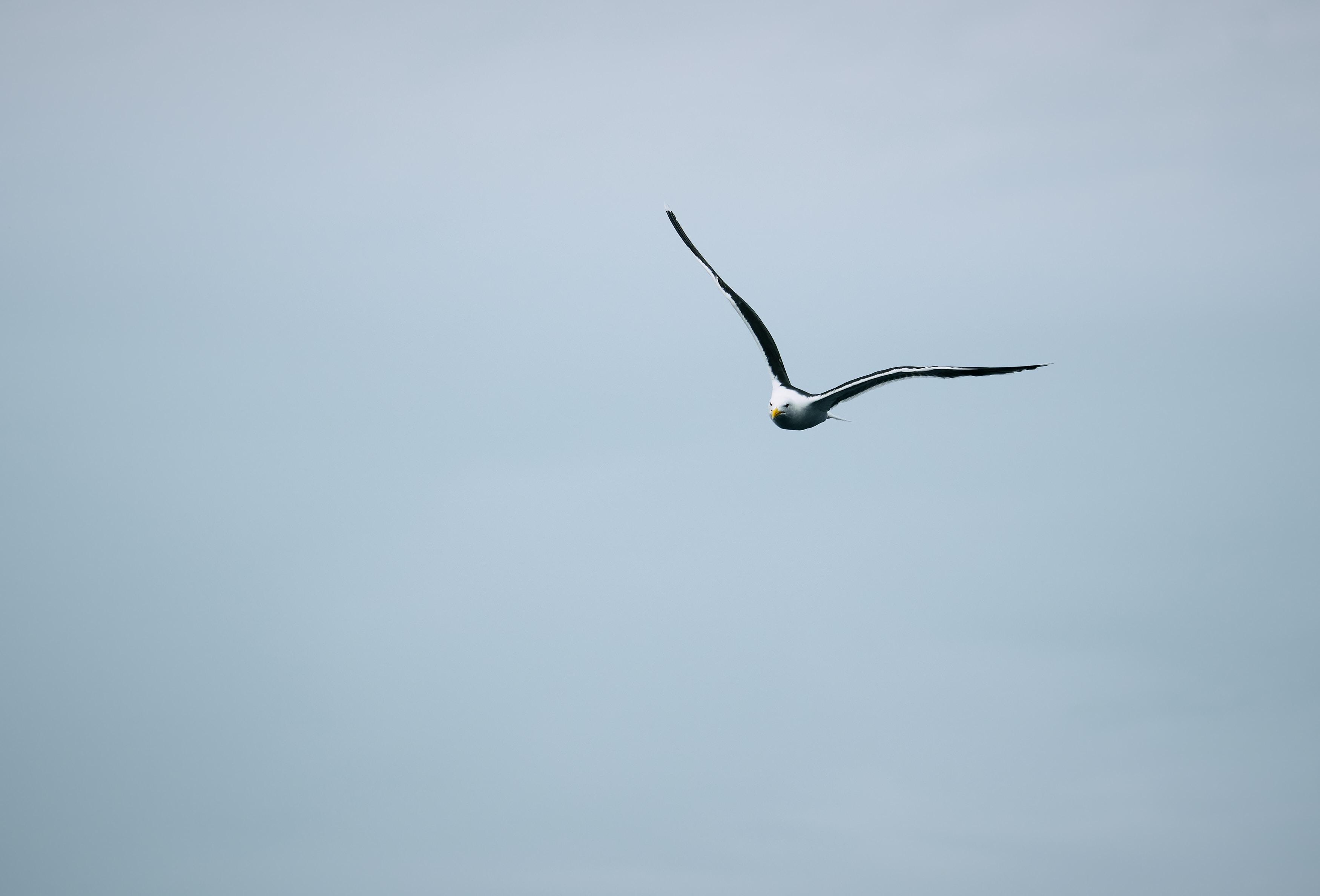 flying gull during daytime
