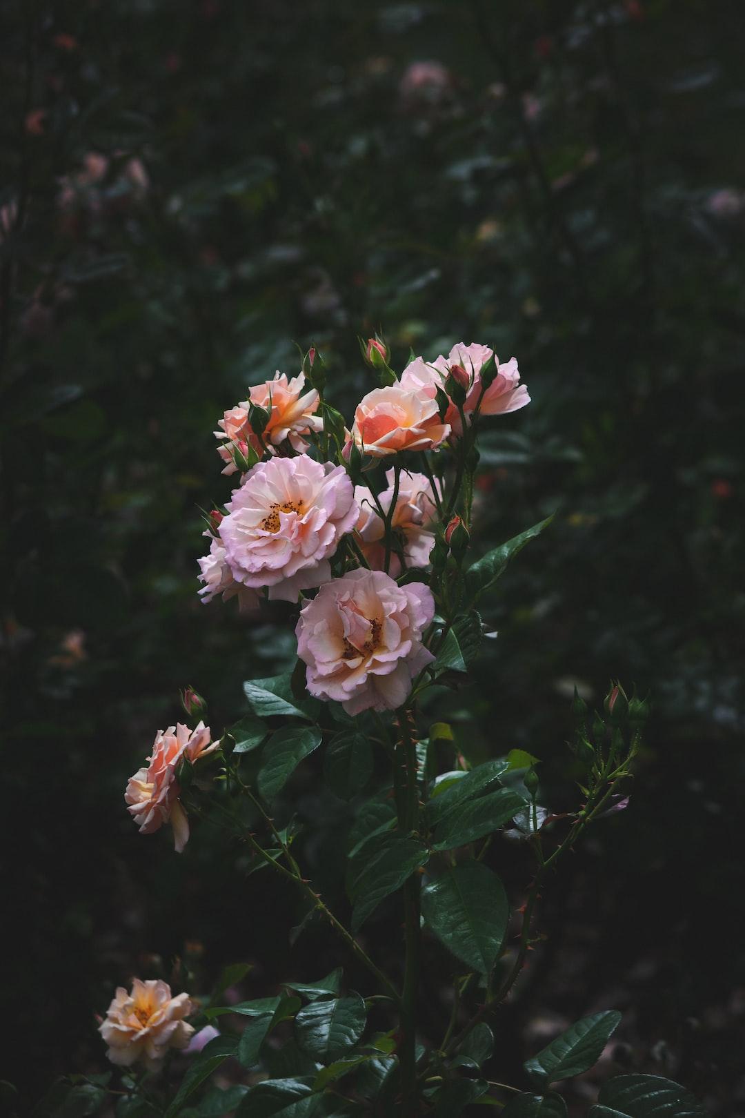 pink petalled flowers