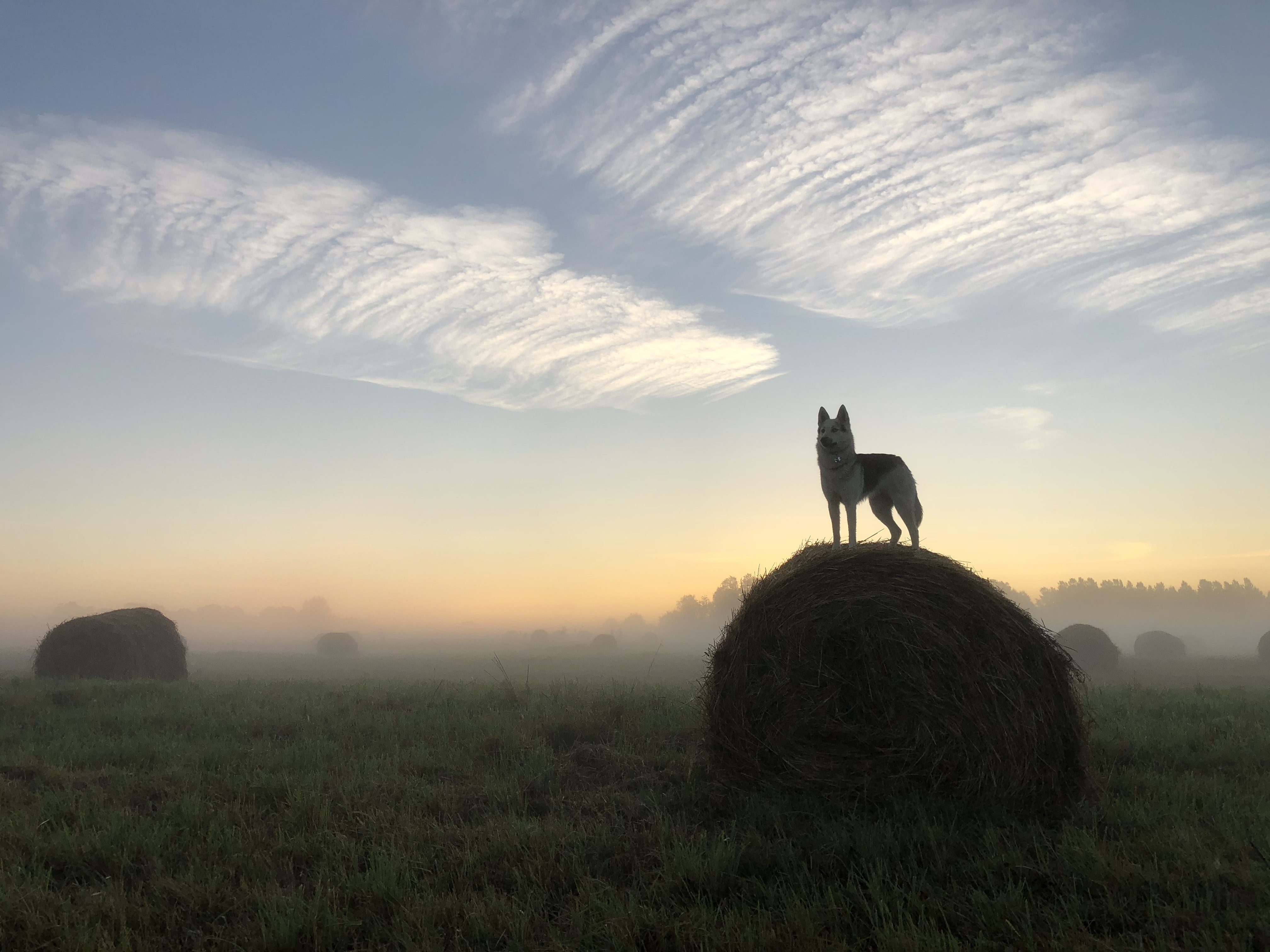 wolf standing on rolled hays