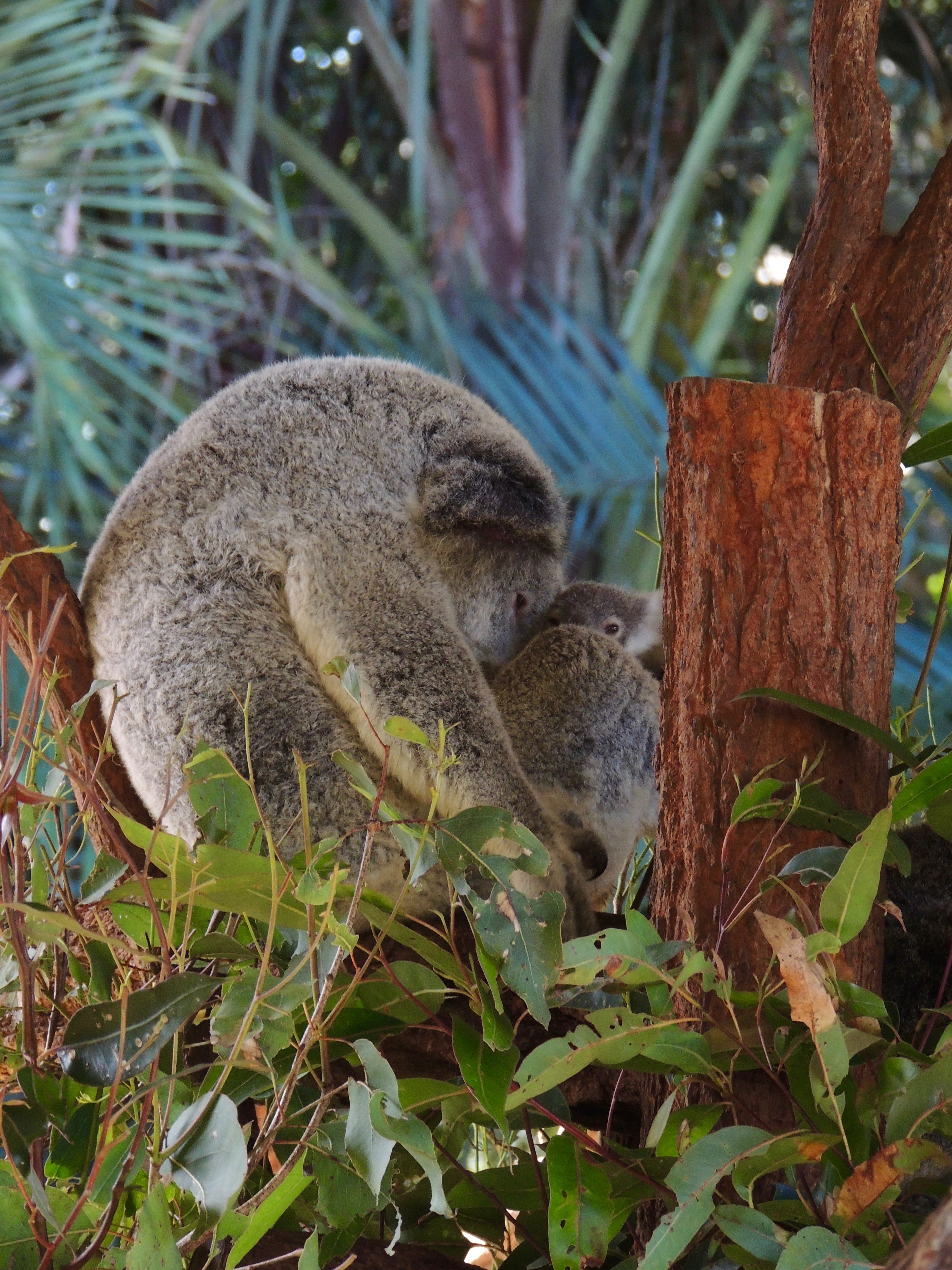 koala on tree with cub