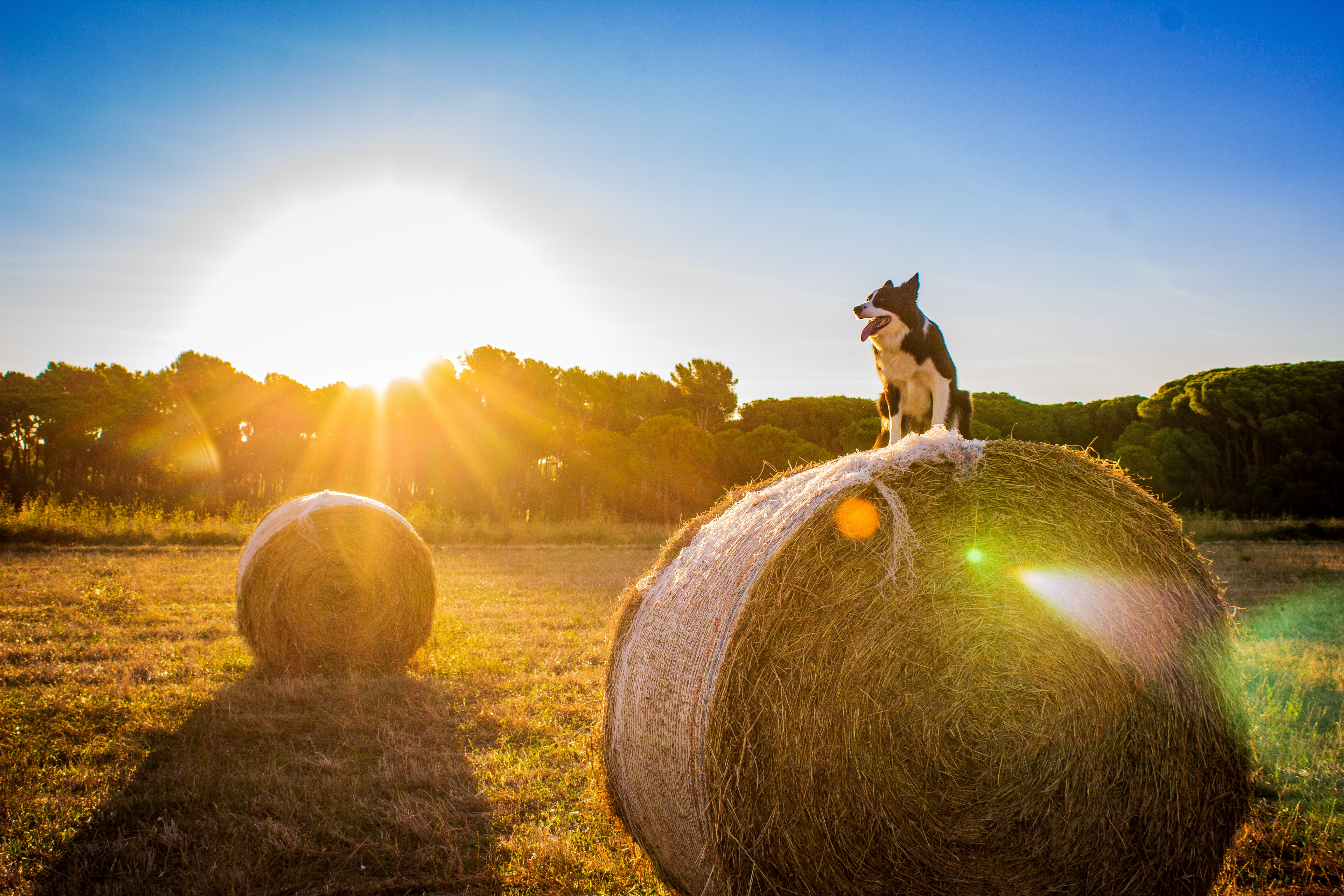 black and white dog on haystack during sunset