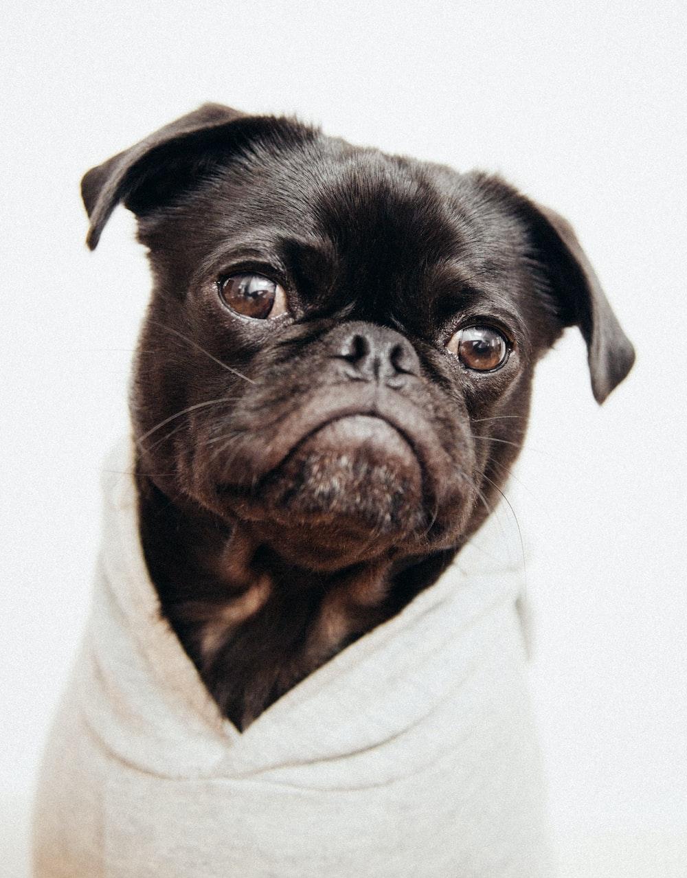 close-up photo of black pug