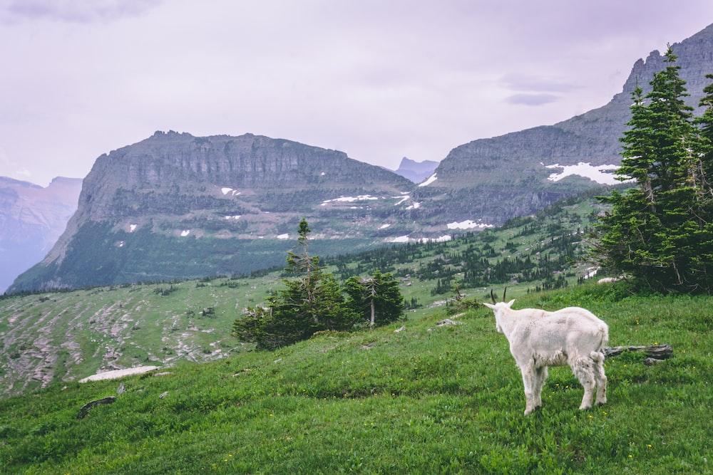 white goat on green grassland near mountain